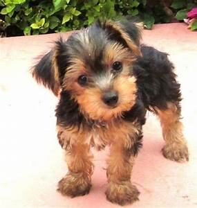Teacup yorkshire terrier, Yorkshire terrier puppies and ...
