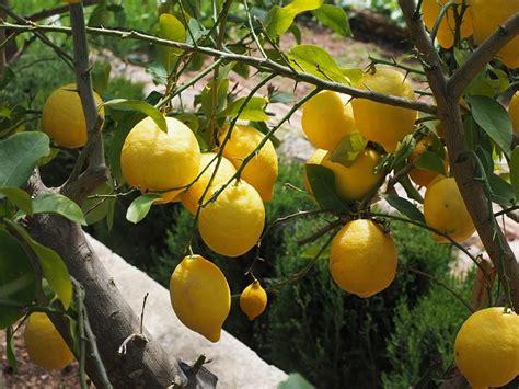 como sembrar una planta de limon beliefnet