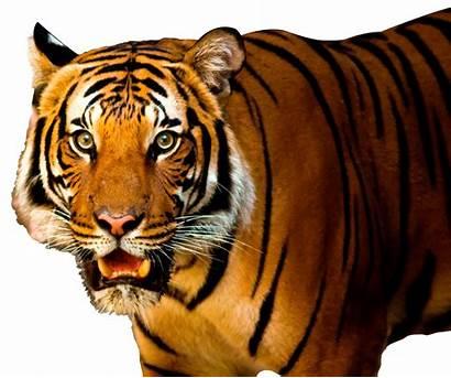 Tiger Transparent Bengal Animal Face Purepng Resolution