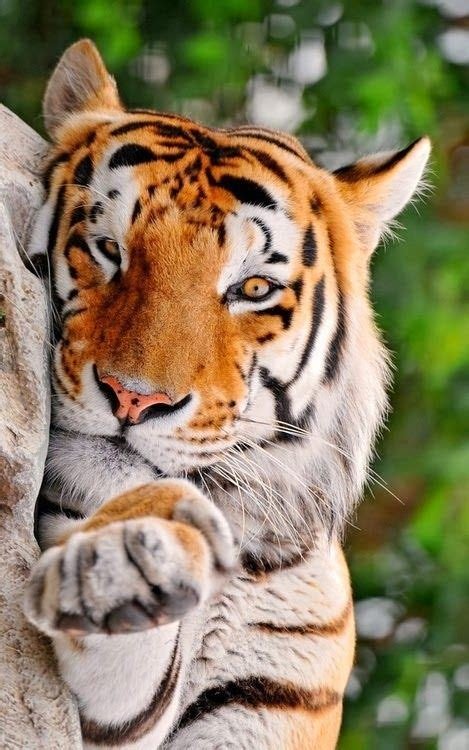 Best Images About White Tigers Pinterest
