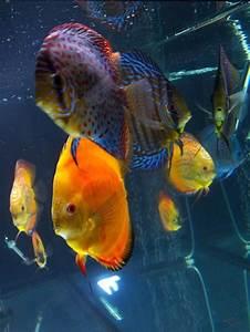 25 best Discus Fish images on Pinterest   Discus fish ...