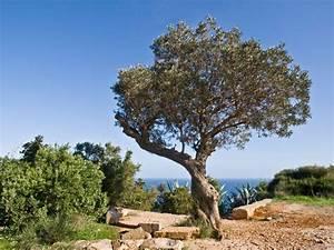 Wo Wachsen Kakteen : einen olivenbaum bestellen und richtig pflegen ist einfach ~ Frokenaadalensverden.com Haus und Dekorationen