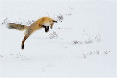 Fox Jumping Foxes Snow Hunting Winter Non