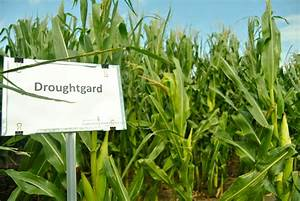 Fighting Drought with a New Super Corn « Great American ...