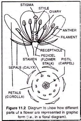 Anacardiaceae Diagram Of The Flower Floral by Diagram To Show How Different Parts Of A Flower Are