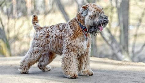 non shedding large family dogs 35 non shedding breeds ranked in order