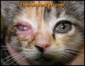 infections in cats herpes infection in cat herpes
