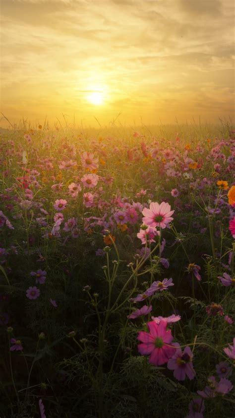 wallpaper cosmos flowers sunrise bloom blossom