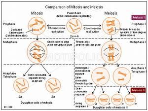 Diagrams Of Mitosis