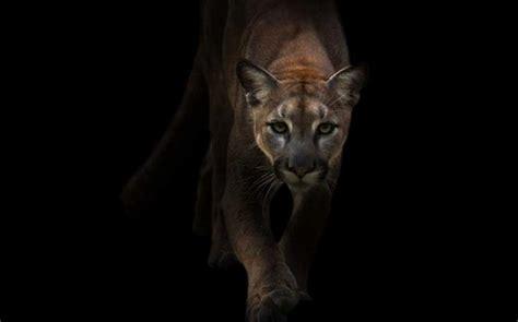 stalked   cougar sierra club