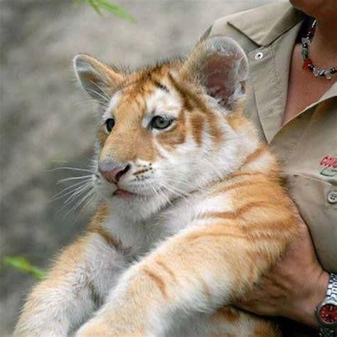 Golden Tabby Tiger Cub Beautiful Animals