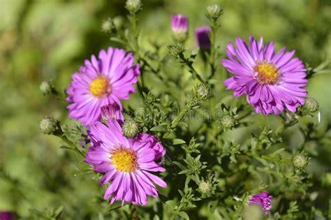 aster fiori asters fotografia stock immagine di fiore viola bello
