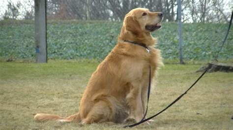 zlaty retrivr golden retriever chovzviratcz