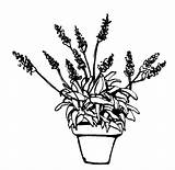 Coloring Pages Lavender Flower Cultivation sketch template