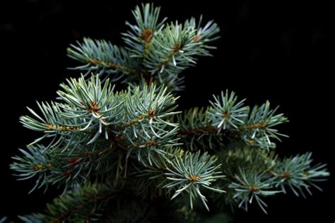 who introfuced christmas trees to britisn favorite new tree species new today