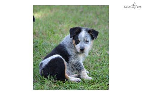 rottweiler australian cattle dog blue heeler mix dog