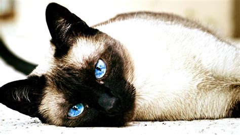 cat siamese cats animals blue eyes wallpapers hd