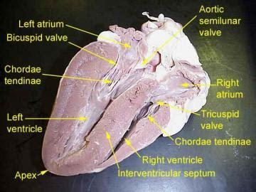 lab  heart  vessels  southern illinois university