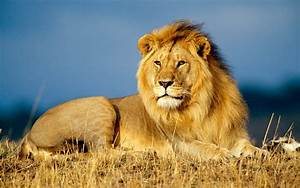 African lions | The Last Word on Wildlife