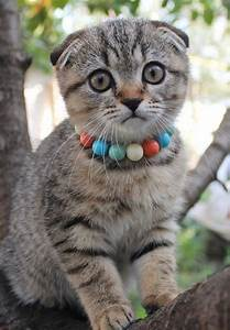 996 best images about Scottish fold^..^ on Pinterest ...
