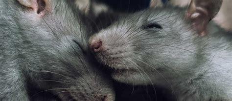 ratten im garten löcher ratten im garten im garten l cher ratten rattenbek mpfung garten unkrautvernichter ratten im
