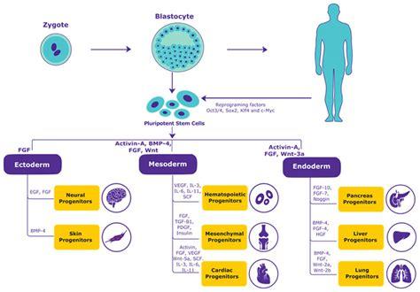Growth Factors in Stem Cell Biology | Sigma-Aldrich
