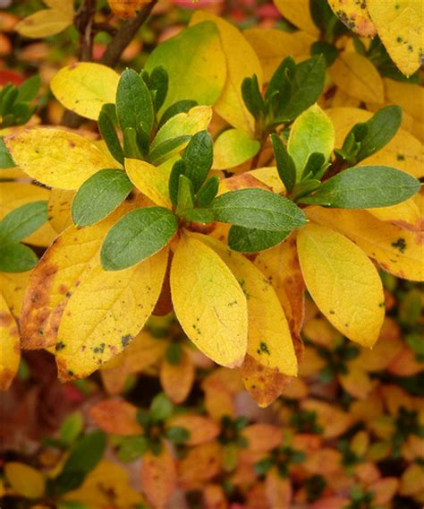 rhododendron leaves turning yellow yellow azalea leaves flickr photo sharing