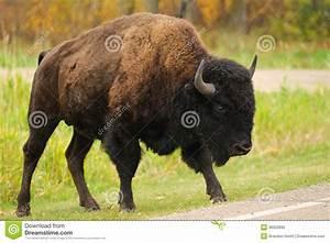 Plains Bison Stock Photo - Image: 36322890