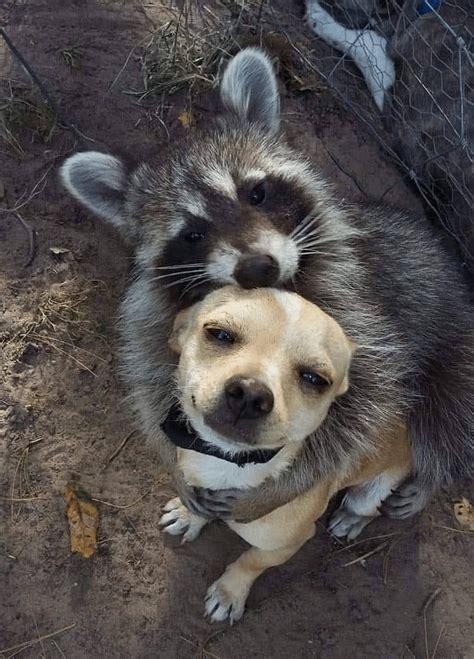 meme generator raccoon hugging dog newfa stuff