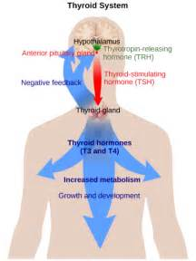 difference  thymus  thyroid definition