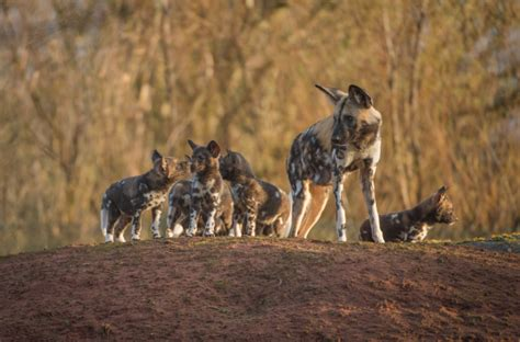 playful african painted dog pups   debut zooborns