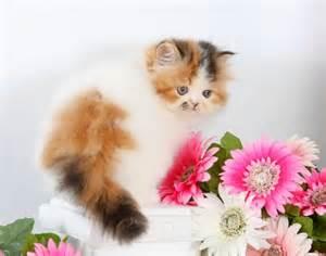 Calico Persian Teacup Kitten