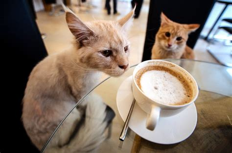 Cat Cafés Just Saved Winter For Everyone French Coffee In My Cafe Vanilla Nutrition Barista Varanasi Training Liqueur Truck Jobs Recept And More