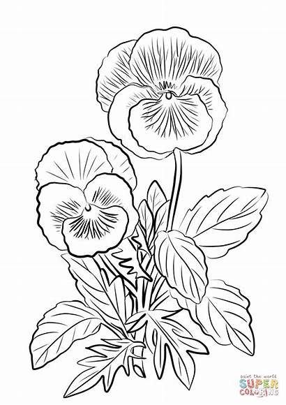 Pansy Coloring Pansies Drawing Pages Flower Printable