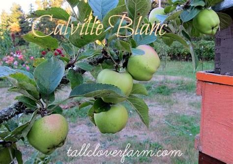 Great Apples for the Home Orchard | Apple, Food garden ...