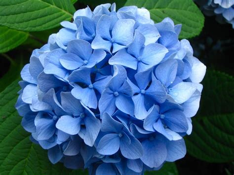what is a hydrangea flower dr dan s garden tips the range of hydrangea
