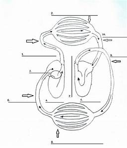 Image Result For Blank Circulatory System Diagram