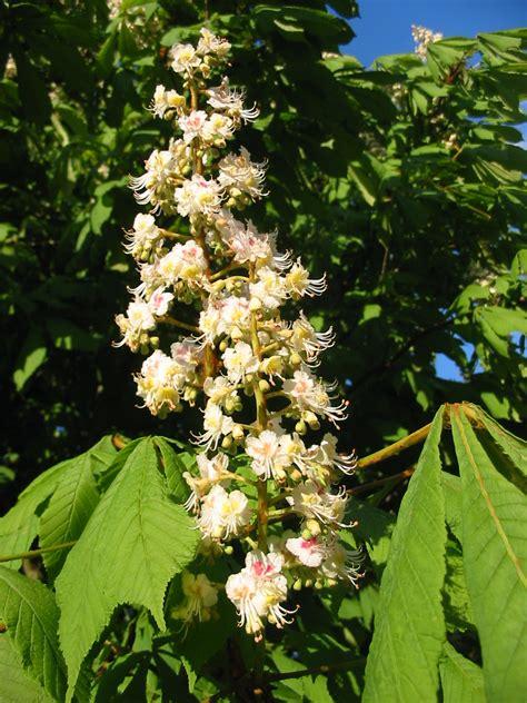 acquistare fiori di bach floriterapia fiori di bach chestnut bud aesculus