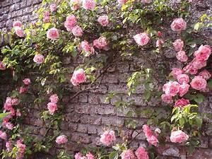 Rosier Grimpant Blanc : plante au mur good porteplante mur vgtal tendance gris ~ Premium-room.com Idées de Décoration