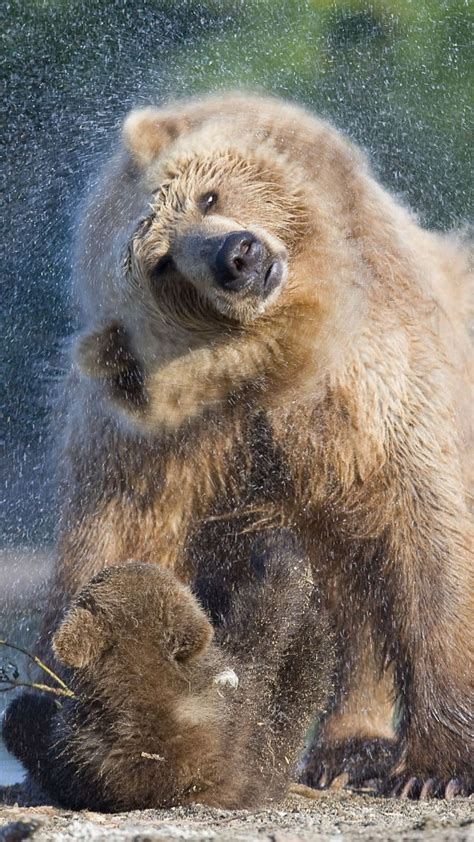 Wallpaper Bear Kamchatka Russia Animals #6032