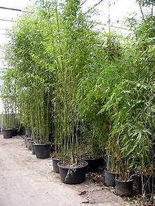 Immergrüner Sichtschutz Im Kübel : bambus von bambusline de 2 5m h he ebay ~ Whattoseeinmadrid.com Haus und Dekorationen