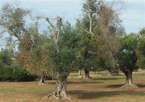 olive trees california olive trees in danger accessscience from mcgraw hill education