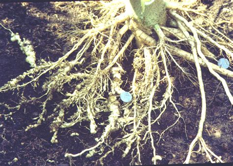 Nematode In Home Garden plantanswers plant answers gt root knot nematodes in gardens