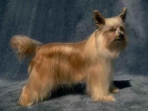 Chinese Crested Powderpuff - Dog Breeds - Dog.com