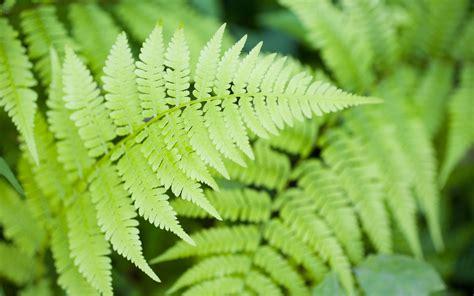 picture of ferns plant ferns blechnum
