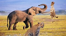 Incredible Leopard Vs Hyenas | Elephant Became Hero After ...