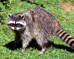 Adult Raccoon Distress | Calling Coyotes