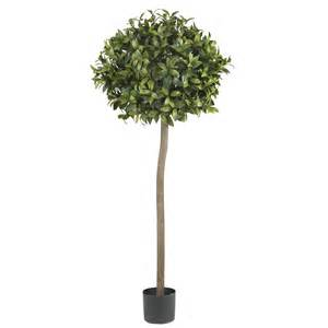 5 foot sweet bay topiary tree potted 5310 nearly