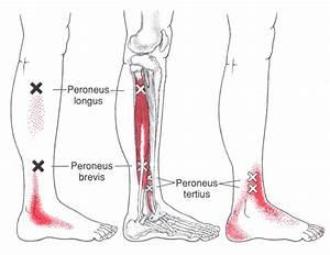 Kurzer Unterschenkelmuskel