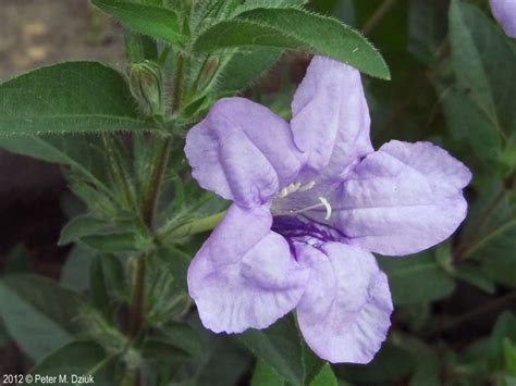 petunia flower information ruellia humulis wild petunia minnesota wildflowers